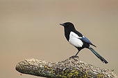 Black-billed Magpie (Pica pica) on a branch, France