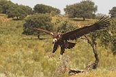 Vautour moine (Aegypius monachus), se posant au sol, Espagne