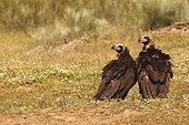 Vautour moine (Aegypius monachus), mâle et femelle au sol, Espagne