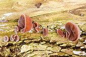 Jelly Ear Fungus (Auricularia auricula-judae) on wood, Alsace, France