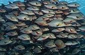 Banc de Perches pagaie (Lutjanus gibbus) au repos, dans la passe de Tiputa, atoll de Rangiroa, archipel des Tuamotu, Polynésie française, océan Pacifique