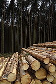 Clearcut in Spruce (Picea abies) forest, Steige pass, Vosges, Alsace, France