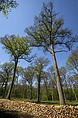 Fuelwood stacks in regular logging, Pedunculate oak (Quercus robur) forest, Vouhenans, Haute-Saône, France