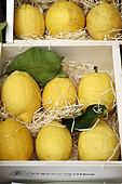 Lemon of Menton (Citrus limon), Protected geographical indication (PGI), Maison du Citron de Menton, Alpes Maritimes, France