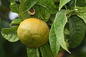 Bigaradier or Bitter orange variety Bittersweet (Citrus aurantium), fruit, Palais Carnoles, Citrus Garden, Menton, Alpes Maritimes, France