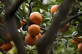 Chinotto (Citrus myrtifolia), fruits, Palais Carnoles, Citrus Garden, Menton, Alpes Maritimes, France