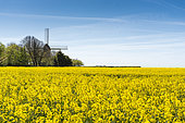 Windmill and Rape field in bloom in spring, Pas de Calais, France