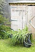 Hemerocallis feet in a garden wheelbarrow in summer, Pas de Calais, France