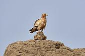 Egyptian vulture (Neophron percnopterus), Farasan Kabir, Farasan Archipelago, Red Sea, Saudi Arabia
