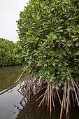Mangrove (Rhizophora mucronata), Farasan Kabir, Farasan Archipelago, Red Sea, Saudi Arabia
