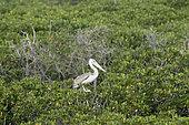 Pink-backed pelicans (Pelicanus rufescens) on mangrove (Rhizophora mucronata), Farasan Kabir, Farasan Archipelago, Red Sea, Saudi Arabia