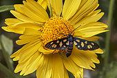Wasp moth (Amata passalis) on yellow flower (Verbesina encelioides), pollination, Saudi Arabia