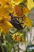 Flower chafer (Cétoninae) on yellow flower (Verbesina encelioides), pollination, Saudi Arabia