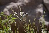 Female Shining sunbrird (Cinnyris habessinicus) on wild flower, Saudi Arabia