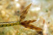 Damselfly (Zygoptera sp) detail of the gills of a larva in a pond, Prairies du Fouzon, Loir et Cher, France