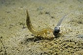 Great diving beetle (Dytiscus marginalis) larva, predation of an Grass frog (Rana dalmatina) tadpole in a pond, Prairies du Fouzon, Loir et Cher, France