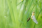 Dragonfly (Odonata sp) during the emergence, Prairies du Fouzon, Loir et Cher, France