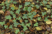 English ivy (Hedera helix) creeping on the undergrowth, Forest of Coye, Val-d'Oise, France