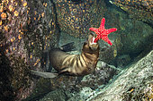 California sea lion, (Zalophus californianus), playing with seastar, Los Islotes, Sea of Cortez, Baja California, Mexico, East Pacific Ocean