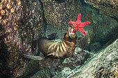 California sea lion, (Zalophus californianus), playing with seastar, Los Islotes, Sea of Cortez, Baja California, Mexico, East Pacific Ocean