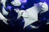 School of Munk's devil ray, pygmy devil ray, (Mobula munkiana), feeding on plankton at night, Espiritu Santo Island, Sea of Cortez, Baja California, Mexico, East Pacific Ocean