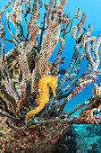 Pacific seahorse (Hippocampus ingens) Salvatierra wreck diving place, Los Islotes, Sea of Cortez, Baja California, Mexico, East Pacific Ocean