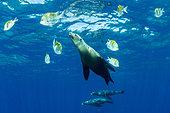 California sea lion, (Zalophus californianus), betwen Panamic sergeant major (Abudefduf troschelii) Los Islotes, Sea of Cortez, Baja California, Mexico, East Pacific Ocean