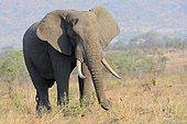 African Bush Elephant (Loxodonta africana), bull, feeding, Kruger National Park, South Africa, Africa