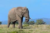 African bush elephant (Loxodonta africana), adult male feeding on grass, Addo Elephant National Park, Eastern Cape, South Africa, Africa