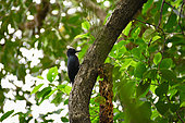 Guadeloupe woodpecker (Melanerpes herminieri) on a trunk, Guadeloupe National Park