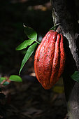 Cocoa pod on the tree, Guadeloupe
