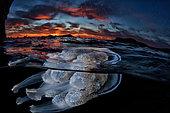 Grande méduse (Rhizostoma pulmo) à la surface, Mer Tyrrhénienne