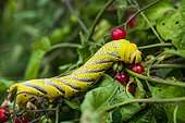 Caterpillar of Death's Head Hawk-moth (Acherontia atropos) eating a berry of Bittersweet (Solanum dulcamara), Entre-deux-Mers, Gironde, New Aquitaine, France.