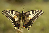 Butterfly Swallowtail (Papilio machaon) in the early morning under the first rays of sunshine, Entre-deux-Mers, Gironde, New Aquitaine, France.