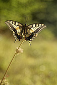 Butterfly Swallowtail (Papilio machaon) in a meadow in the early morning, Entre-deux-Mers, Gironde, New Aquitaine, France.