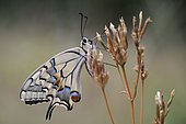 Butterfly Swallowtail (Papilio machaon) in a thatch in the early morning, Entre-deux-Mers, Gironde, New Aquitaine, France.
