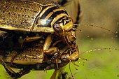 Diving Beetle (Acilius sulcatus) mating in a pond, Prairies du Fouzon, Loir et Cher, France
