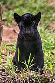 Jaguar noir (Panthera onca) cub in captivity, at a wild cats rehab center, photographed in Goiais, Brazil. Cerrado Biome.