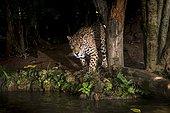 Jaguar (Panthera onca), in captivity, at a wild cats rehab center, photographed in Goiais, Brazil. Cerrado Biome.