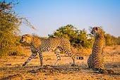 Cheetah (Acinonyx jubatus) walking with tracking collar, South Africa