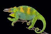 Johnston's chameleon (Trioceros johnstoni)
