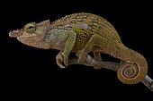 Böhme's Two-horned Chameleon (Kinyongia boehmei)