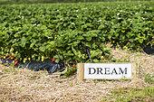Field of strawberries 'Dream', France