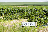 Field of strawberries 'Clery', France