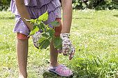 Girl tearing nettles in a garden in spring, Pas de Calais, France