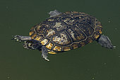 red-eared slider, (Trachemys scripta), old melanistic individual, Maryland