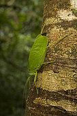 Katydid on tree, Tropical rainforest, Costa Rica