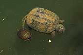 Snapping turtle, Chelydra serpentina, and painted turtle Chrysemys picta, Maryland