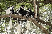 Guereza (Colobus guereza) group on a branch, Awassa, Ethiopia
