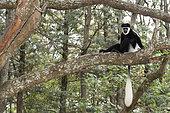 Guereza (Colobus guereza) on a branch, Awassa, Ethiopia